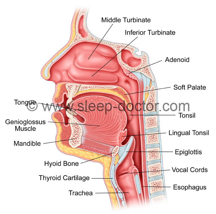 Does Aging Cause Epiglottis Related Obstruction In Obstructive Sleep